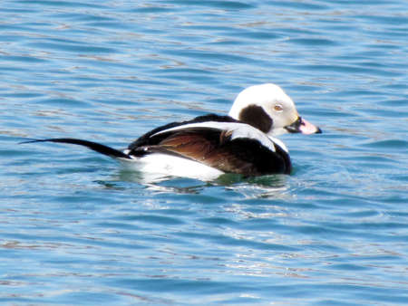 Long-tailed duck male on the Lake Ontario in Toronto, Canada, April 4, 2013 Stock Photo