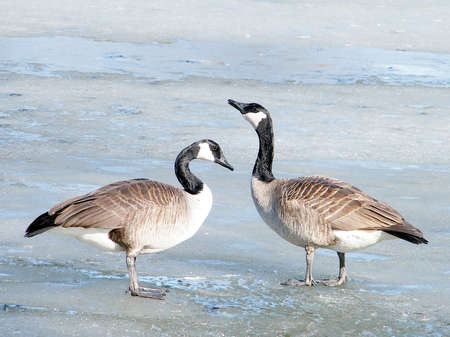 oakbank: Canadian geese on ice of Oakbank Pond in Thornhill, Canada, March 16, 2010
