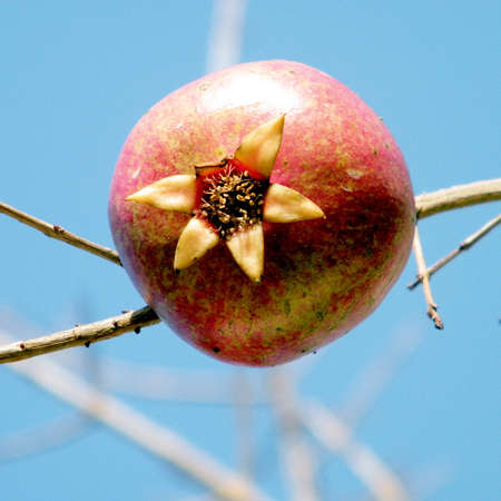 lance shaped: Pomegranate on a branch in Or Yehuda, Israel, January 29, 2011