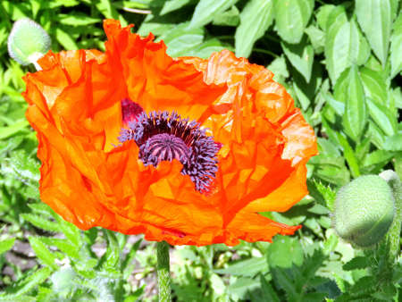 Red poppy flower in high park of toronto canada june 1 2017 stock red poppy flower in high park of toronto canada june 1 2017 stock mightylinksfo