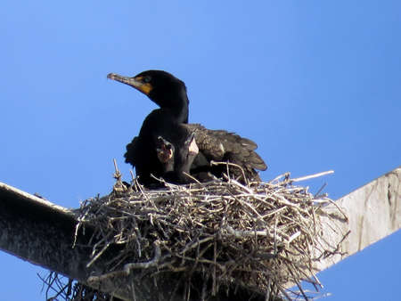 Cormorant and chicks in nest on the power transmission tower in Toronto, Canada, June 3, 2017 Stock Photo