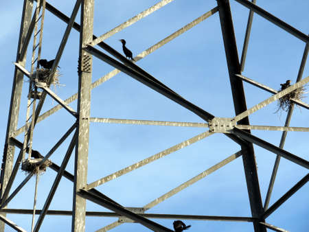 Cormorants on the power transmission tower