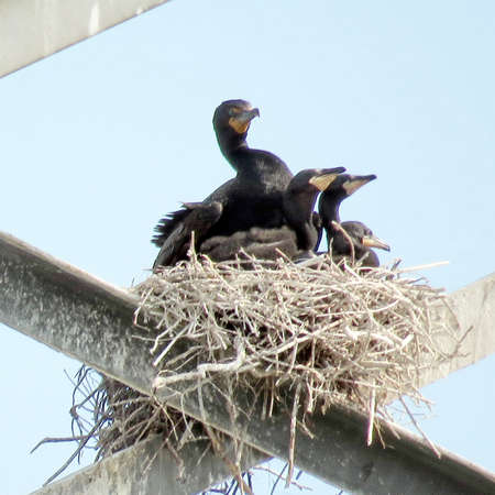 Cormorant and chicks in nest on the transmission tower in Toronto, Canada, June 4, 2017 Stock Photo