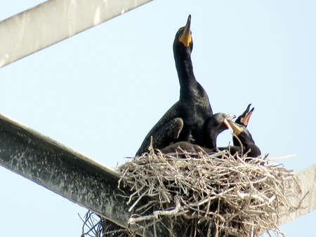 Cormorant and three chicks in nest on the transmission tower in Toronto, Canada, June 4, 2017