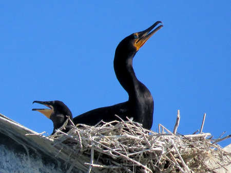 Cormorant and its chick in the nest on the transmission line tower in Toronto, Canada, June 7, 2017 Stock Photo