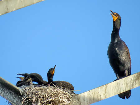 Cormorant and chicks on the transmission tower in Toronto, Canada, June 13, 2017 Stock Photo