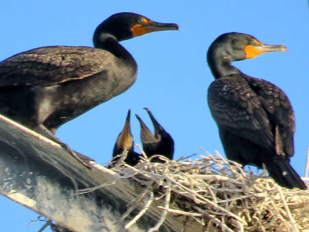 Cormorant family on the transmission tower in Toronto, Canada, June 13, 2017