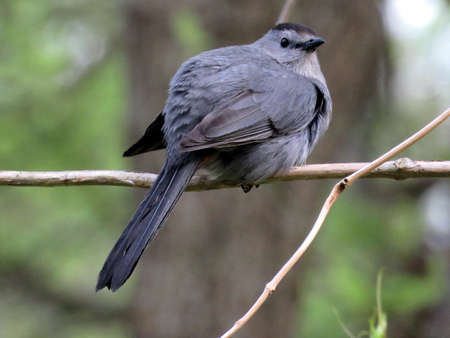 Gray Catbird on a branch in South Bethany, Usa, May 8, 2016 Stock Photo