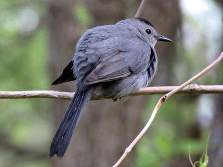 The Gray Catbird in South Bethany, Usa, May 8, 2016
