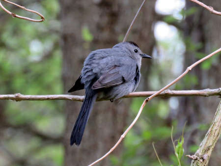 The Gray Catbird on a branch in South Bethany, Usa, May 8, 2016