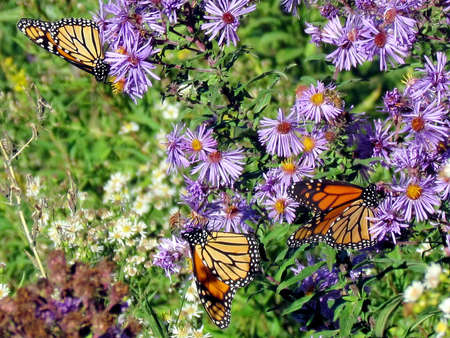 Carpet of Monarch butterflies and flowers on shore of the Lake Ontario in Toronto, Canada, October 9, 2013