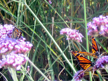 Monarch butterflies on the flowers on shore of the Lake Ontario in Toronto, Canada, October 9, 2013