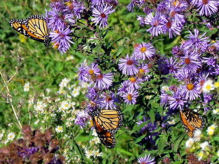 Three Monarch butterflies and flowers on shore of the Lake Ontario in Toronto, Canada, October 9, 2013