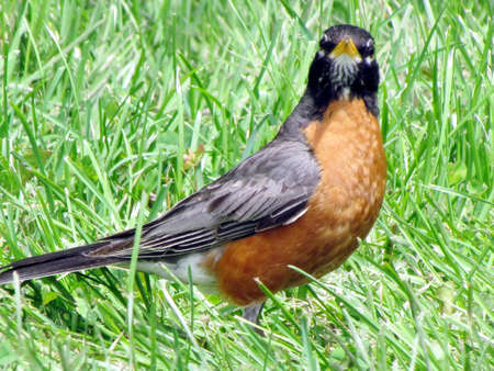 American Robin on shore of the Lake Ontario in Toronto, Canada, July 3, 2017