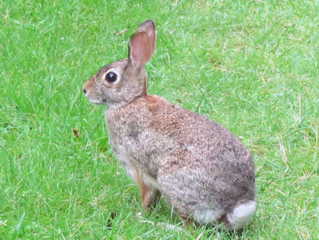 thornhill: Eastern cottontail rabbit in Thornhill, Canada, July 10, 2017