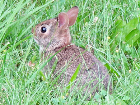 leporidae: Eastern cottontail rabbit in the grass in Thornhill, Canada, July 10, 2017