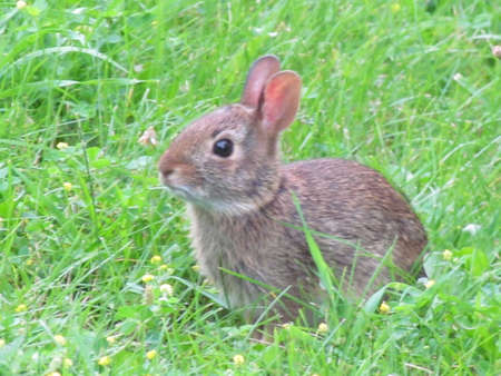 leporidae: Eastern cottontail rabbit on the grass in Thornhill, Canada, July 10, 2017