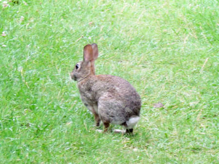 lagomorpha: Running eastern cottontail rabbit in Thornhill, Canada, July 10, 2017