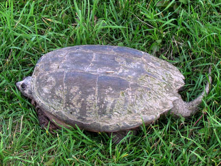 Turtle on the grass in Thornhill, Canada, July 2, 2017