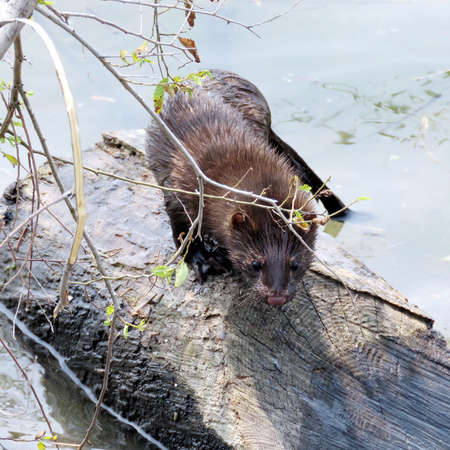 Lontra canadensis (North American river otter) on a shore of the Lake Ontario in Toronto, Canada. Stock Photo