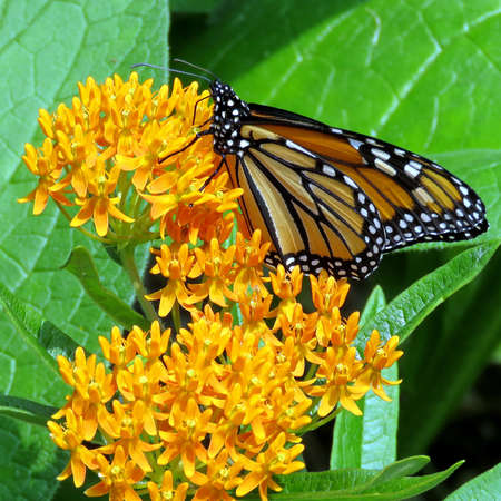 Monarch Butterfly and bee on a flower in High Park of Toronto, Canada, July 21, 2017