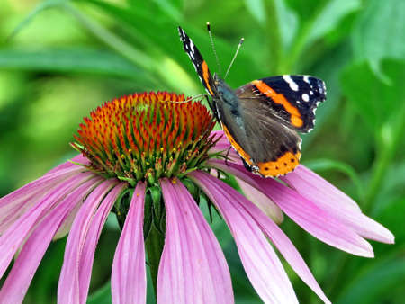 Red Admiral Butterfly on a flower in High Park of Toronto, Canada, July 21, 2017