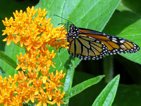 The Monarch Butterfly in High Park of Toronto, Canada, July 21, 2017 Stock Photo