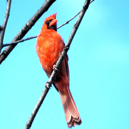 thornhill: The Red Cardinal on a branch in a forest of Thornhill, Canada, July 27, 2017