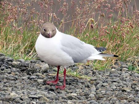 Black-headed gull in Iceland, July 9, 2017