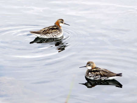 Red-necked phalaropes in Iceland, July 9, 2017