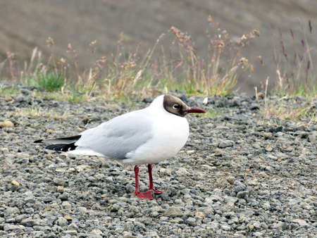 The black-headed gull in Iceland, July 9, 2017