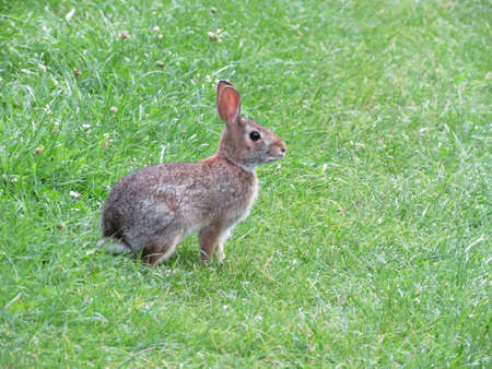 leporidae: Eastern cottontail rabbit isolated on the grass in Thornhill, Canada, August 1, 2017