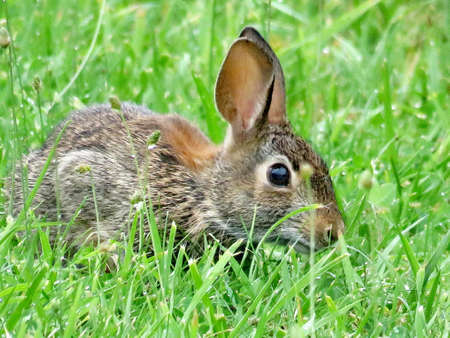 leporidae: The eastern cottontail rabbit isolated in forest of Thornhill, Canada, August 2, 2017