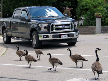 thornhill: The canadian geese cross the street in Thornhill, Canada, July 25, 2017