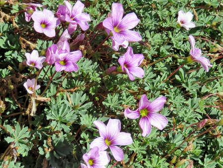 Petunia flowers in garden in Iceland, July 10, 2017 Stock Photo