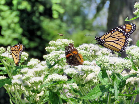 Monarch butterflies and Red Admiral in garden on bank of the Lake Ontario in Toronto, Canada, August 8, 2017