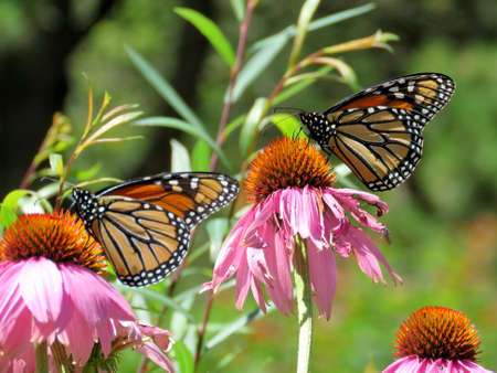 Monarch butterflies on the flowers in garden on bank of the Lake Ontario in Toronto, Canada, August 8, 2017 Stock Photo