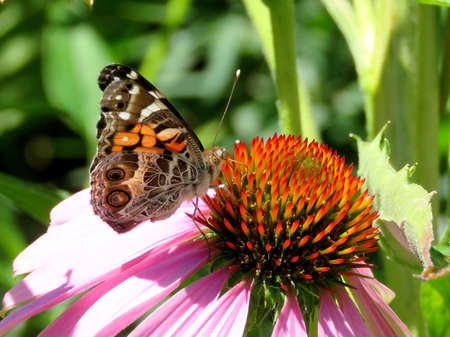Junonia coenia butterfly on a flower in garden on bank of the Lake Ontario in Toronto, Canada, August 8, 2017