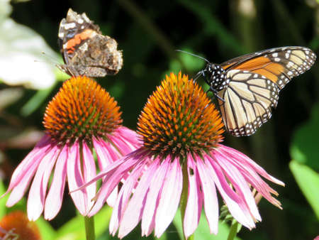 Monarch butterfly and Red Admiral in garden on bank of the Lake Ontario in Toronto, Canada, August 8, 2017 Stock Photo