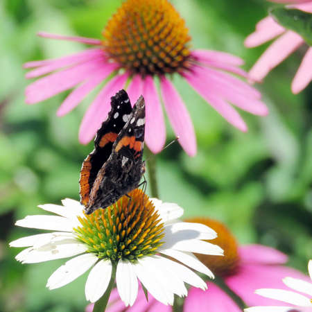 admiral: Red Admiral in garden on bank of the Lake Ontario in Toronto, Canada