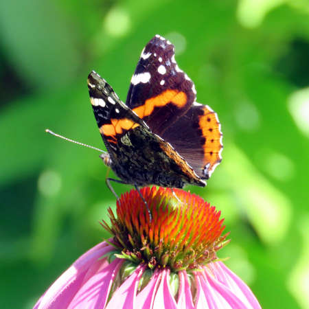 admiral: Red Admiral Butterfly in garden on bank of the Lake Ontario in Toronto, Canada