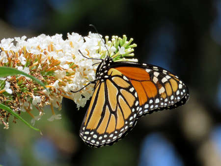 Monarch on a white flower in High Park of Toronto, Canada, August 23, 2017