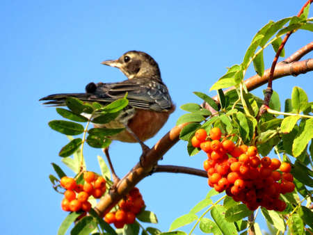 American Robin on a rowanberry tree in forest of Thornhill, Canada, August 26, 2017
