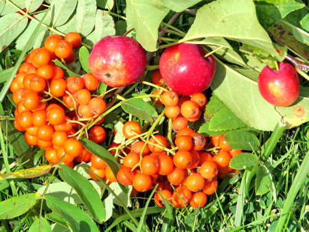 thornhill: Rowanberry and apples in forest of Thornhill, Canada, August 27, 2017 Stock Photo