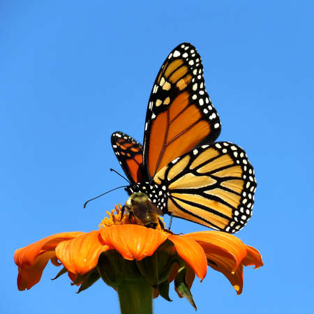 Monarch butterfly on the red daisy in garden on bank of the Lake Ontario in Toronto, Canada, September 12, 2017
