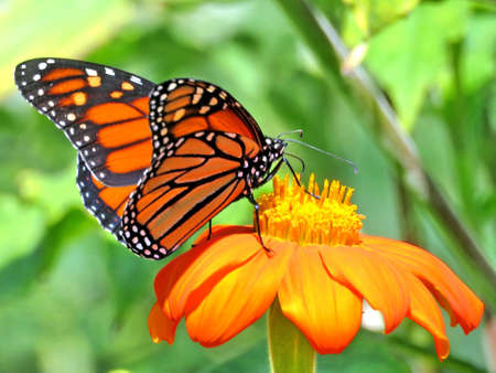 Monarch butterfly on the red flower in garden on bank of the Lake Ontario in Toronto, Canada, September 12, 2017