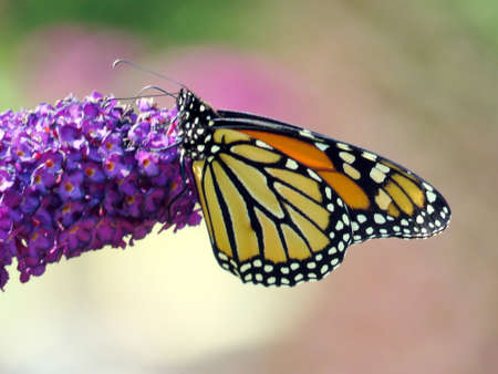 Monarch butterfly on a purple flower in garden on bank of the Lake Ontario in Toronto, Canada, September 12, 2017