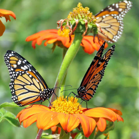 tagging: Three Monarch butterflies and red daisies in garden on bank of the Lake Ontario in Toronto, Canada, September 12, 2017 Stock Photo