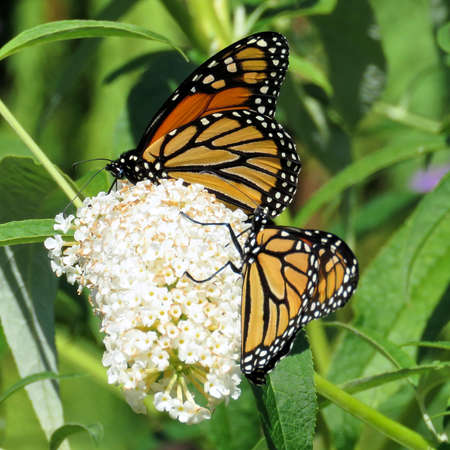 Two Monarch butterflies in garden on bank of the Lake Ontario in Toronto, Canada, September 12, 2017