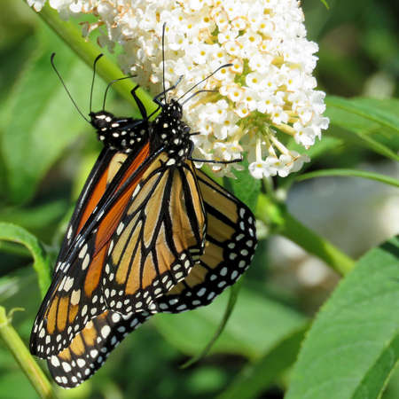 Two Monarch butterflies on a white flower in garden on bank of the Lake Ontario in Toronto, Canada, September 12, 2017